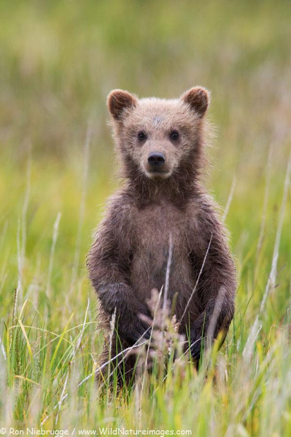 Brown bear cub, Lake Clark National Park, Alaska.
