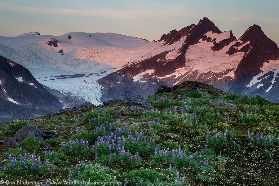 Wildflowers on Mount Stroller White above the Mendenhall Glacier, Tongass National Forest, Alaska.