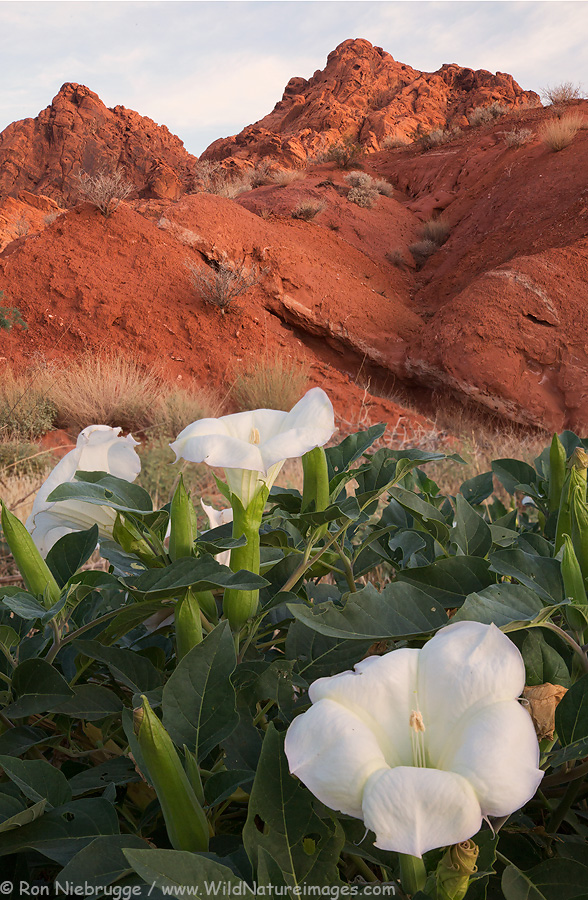 Sacred Datura, Valley of Fire State Park, Nevada.