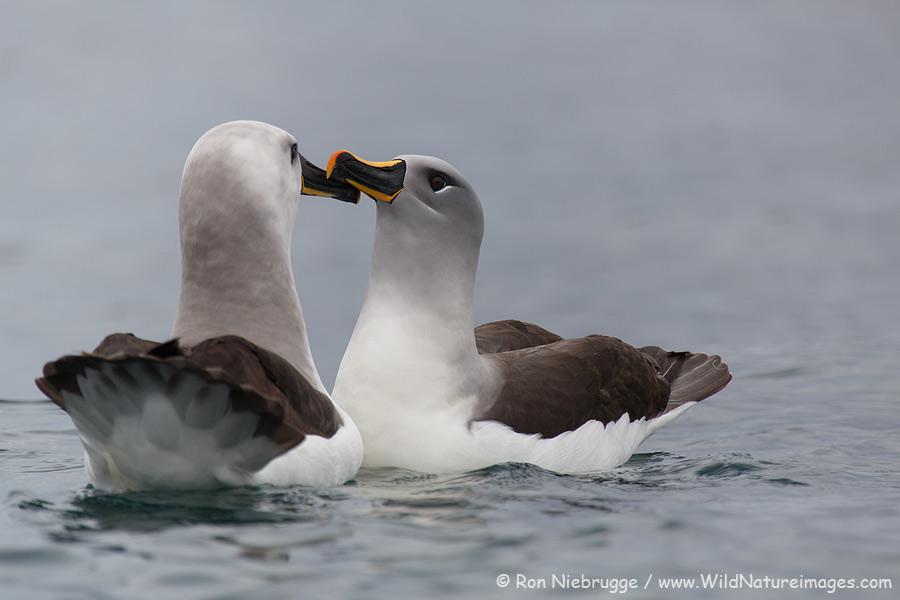Grey-headed albatross Cooper Bay, South Georgia.