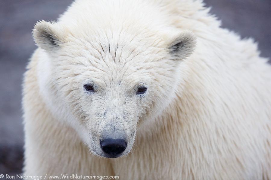 Polar Bear, Alaska.
