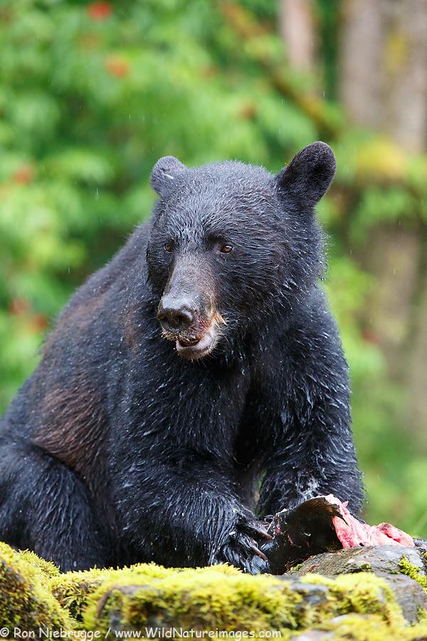Black bear at the Neets Bay Hatchery,Tongass National Forest, near Ketchikan, Alaska.