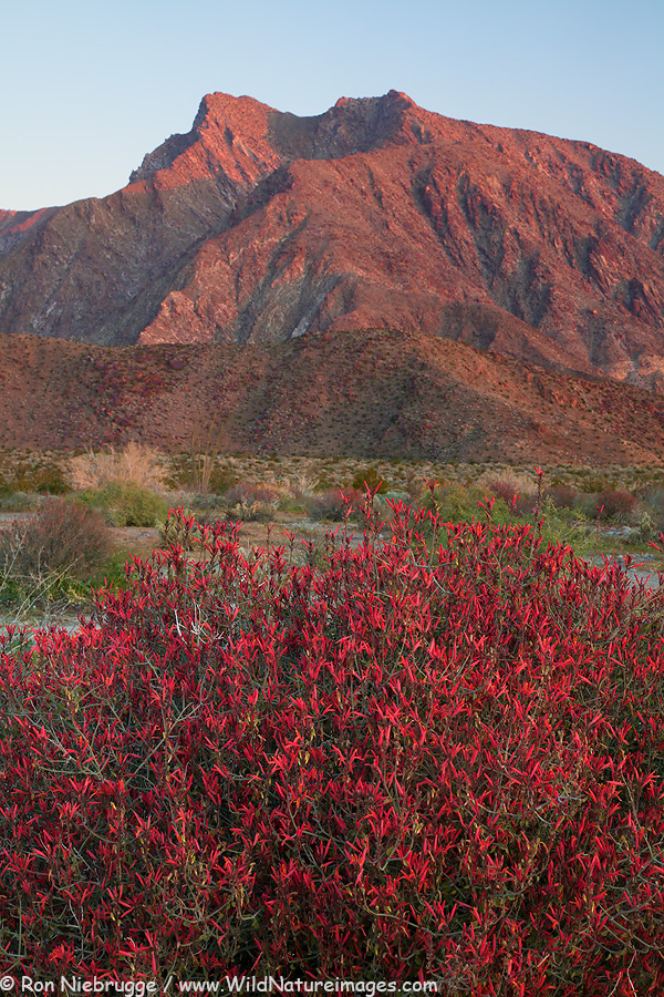 Chuparosa wildflowers and Indian Head mountain, Anza-Borrego Desert State Park, California.