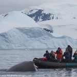 Antarctic Humpback