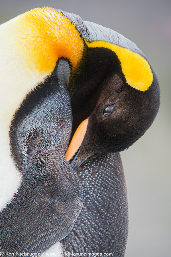 King Penguin, South Georgia.