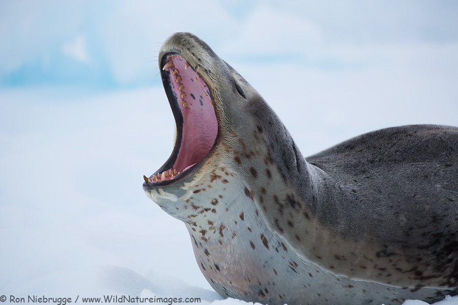 Leopard seal, Antarctica.