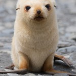 Blonde Fur Seal