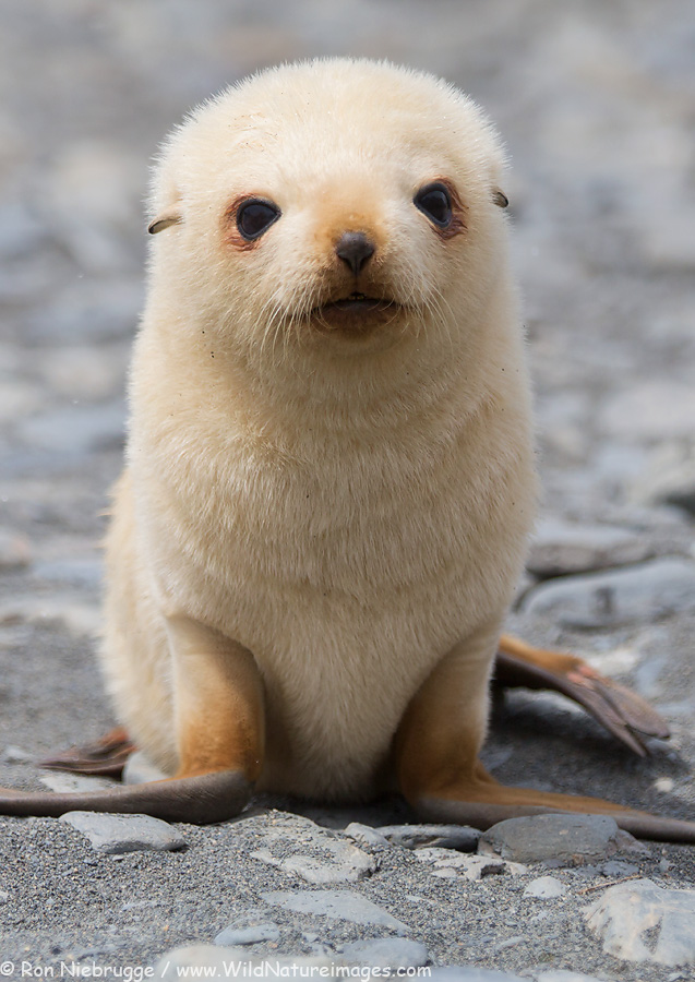 Blonde Fur Seal, South Georgia.