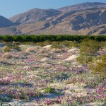 Anza-Borrego Wildflower Update 2015