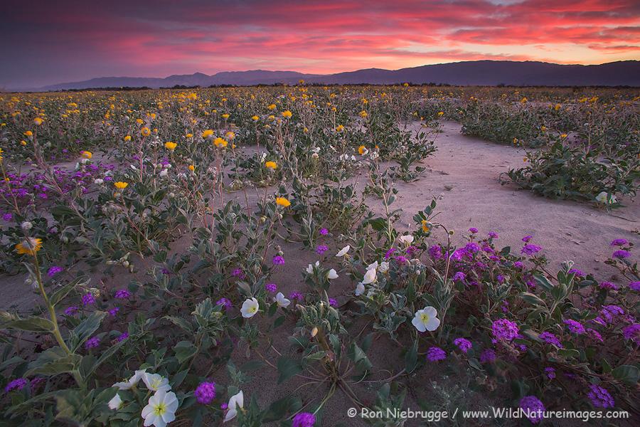 Desert wildflowers, Anza Borrego Desert State Park, California.