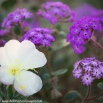 Anza-Borrego Wildflowers – Current Conditions
