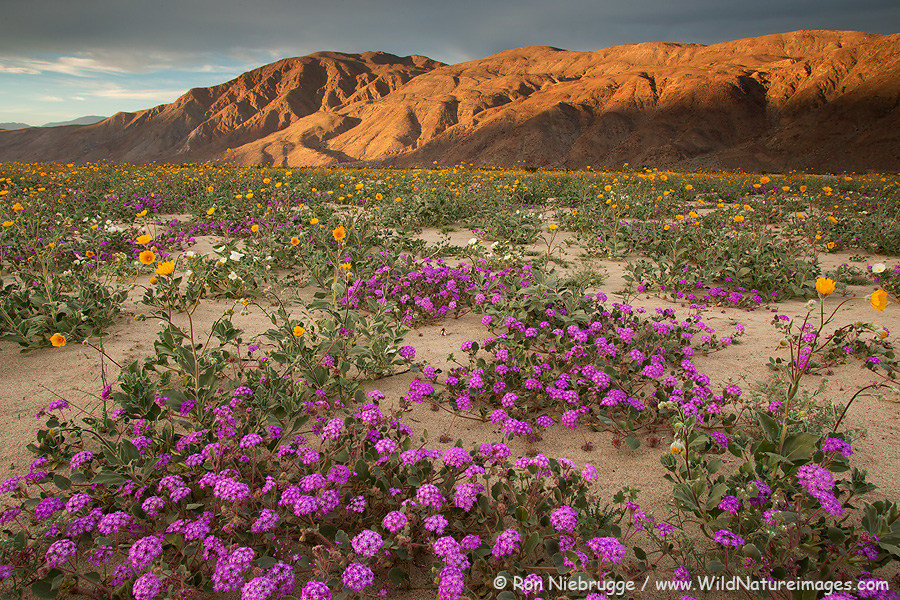Wildflowers-Anza-Borrego