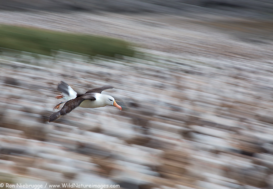 Black-browed albatross, Steeple Jason shown within the Falkland Islands.