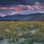 Borrego Desert Wildflowers