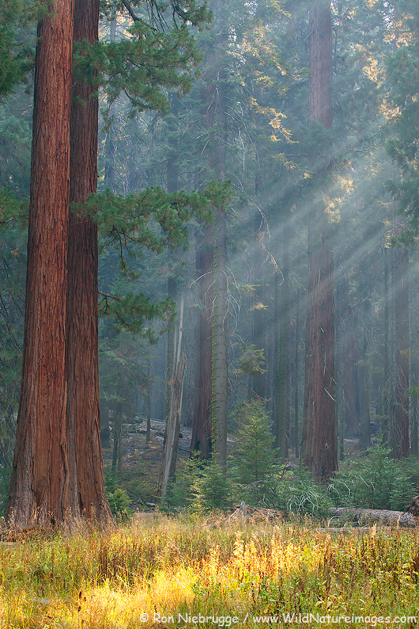 The giant Sequoia trees in Sequoia National Park, California.