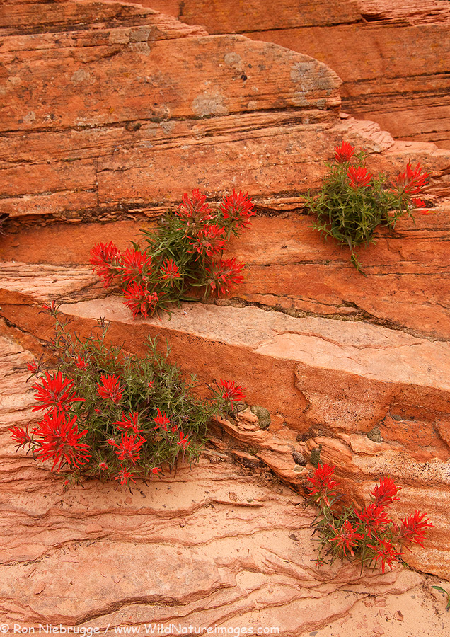 Indian Paintbrush, Zion National Park, Utah.