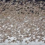Alaska Shorebird Migration