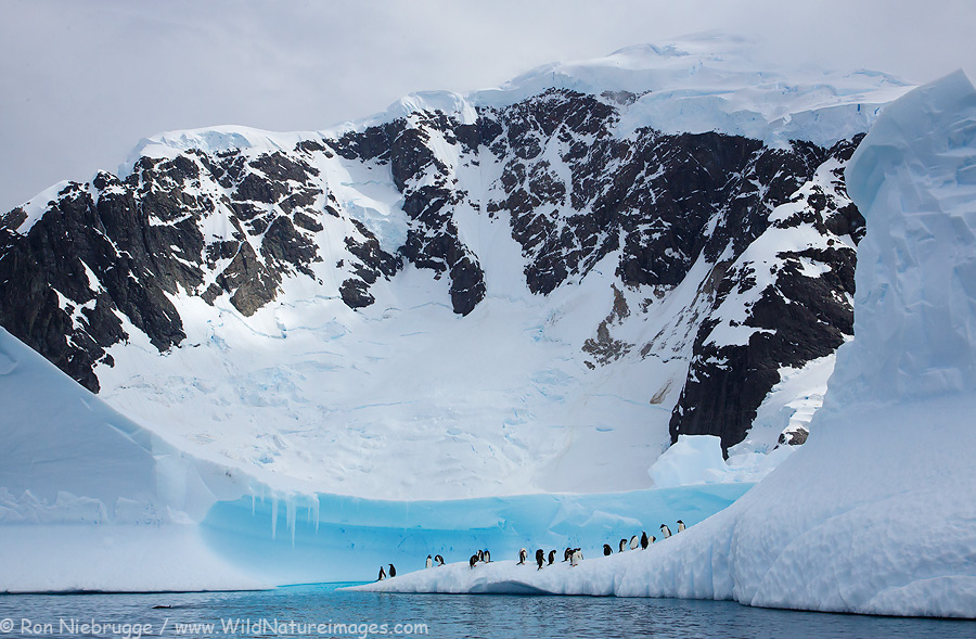 Gentoo Penguins near Danco Island, Antarctica.