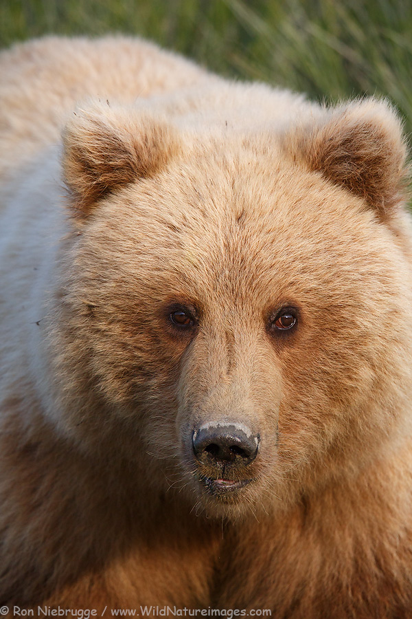 Brown Bear from last month, Lake Clark National Park, Alaska.