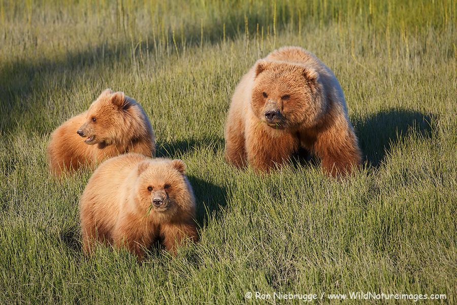 Brown bear family, Lake Clark National Park, Alaska.