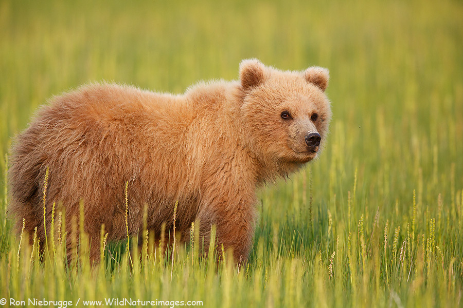A year and a half old cub from this past June's Photo Tour.