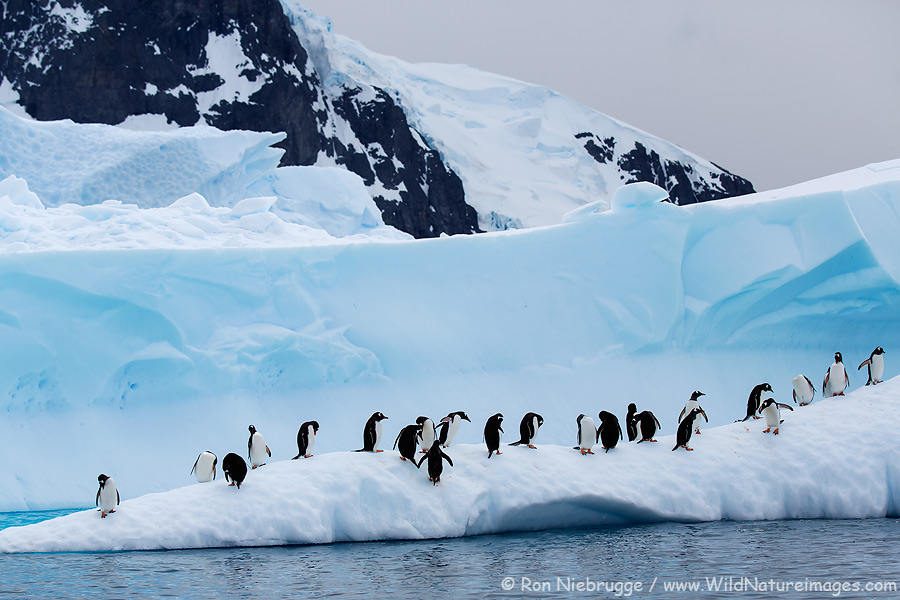 Gentoo Penguins near Danco Island, Antarctica.