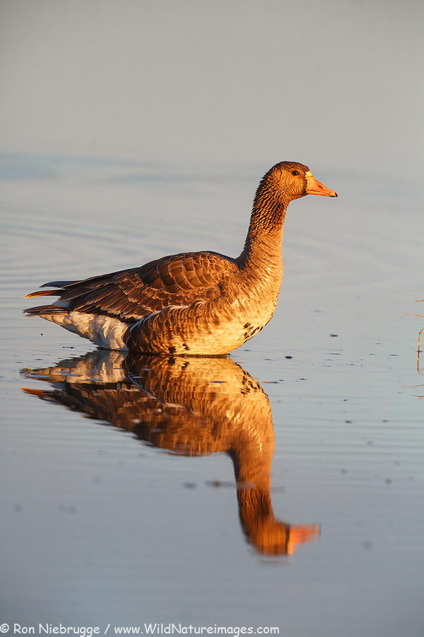 Greater white-fronted goose, Alaska Arctic.
