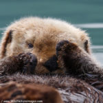 Peak a Boo Sea Otter