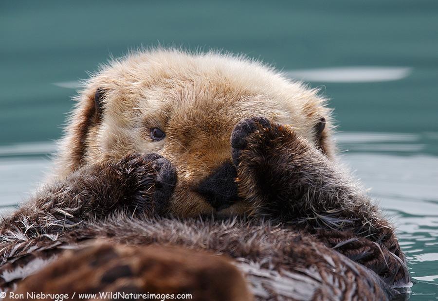 Sea Otter off shore of Lake Clark National Park, Alaska.