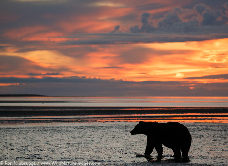 Brown Bear at sunrise, Lake Clark National Park, Alaska.