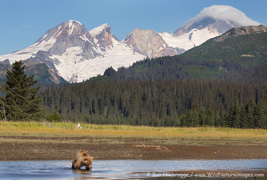Brown bear in front of the Mount Iliamna volcano, Lake Clark National Park, Alaska.