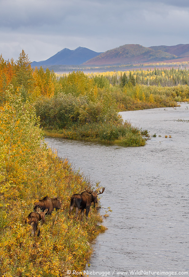 Bull moose in the Brook Range, Alaska.