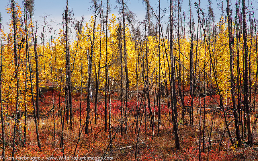 autumn colors in a Recent burn area in the foothills of the Brooks Range, Alaska.