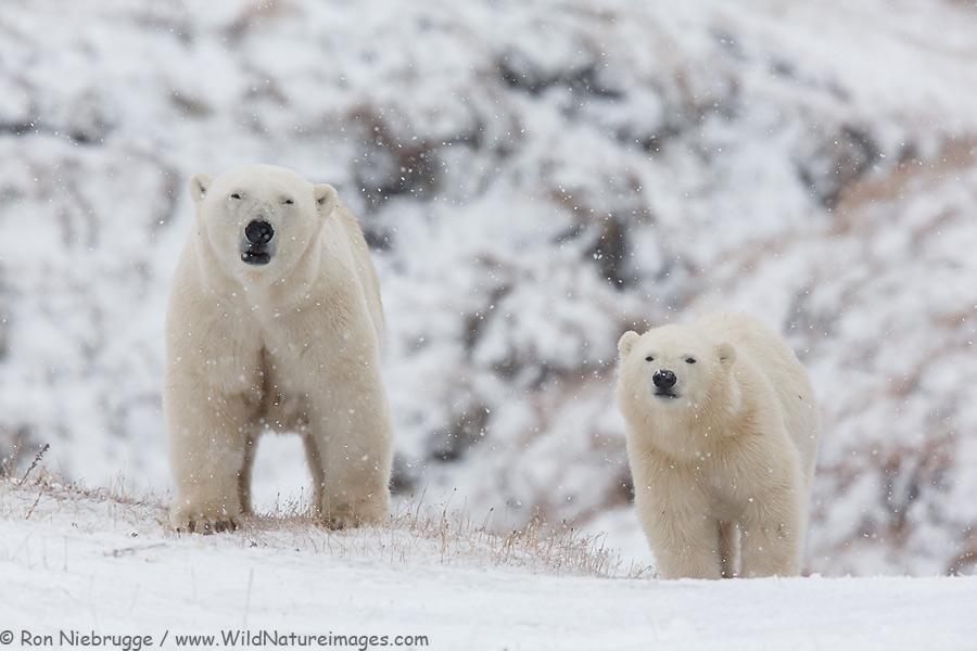 Polar bear sow and cub, Alaska Arctic.