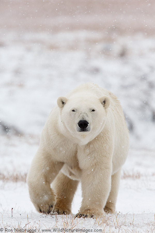 Polar Bear in a snow storm, Alaska Arctic.