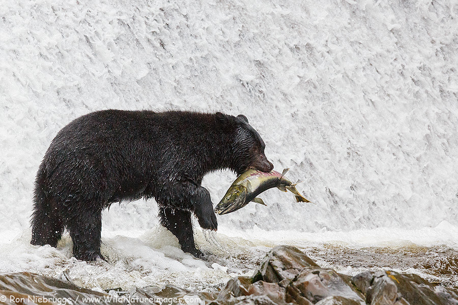 Black bear, Neets Bay, Alaska.
