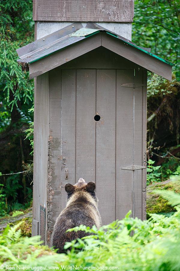 Brown bear cub, Anan Creek Bear Observatory, Alaska.