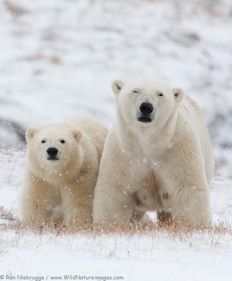 Polar Bears, Alaska Arctic.