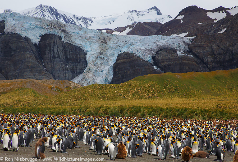 King Penguin colony at Gold Harbor, South Georgia.