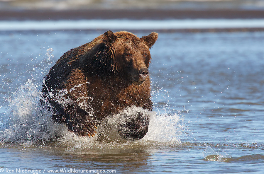 A Brown Bear closing in on a Silver Salmon, Lake Clark National Park, Alaska.