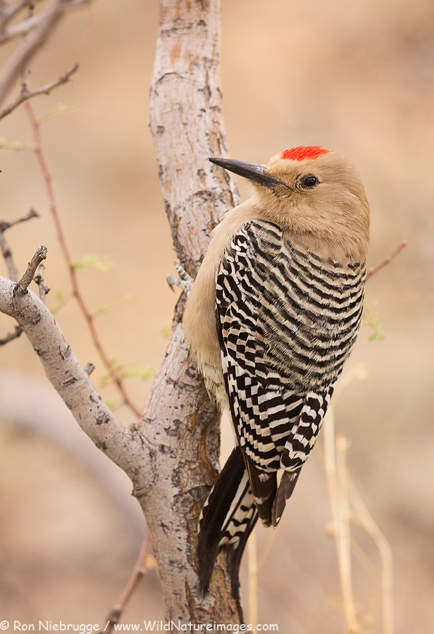 the features of the gila woodpecker Gila woodpecker  gila woodpeckers live in the us and mexican desert  key features large beaks, strong feet, stiff tail fathers, long tongue  habitat.