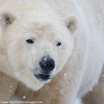 Polar Bear Photography Tour