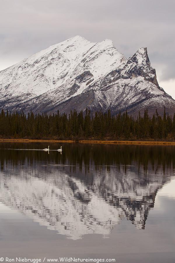 Tundra Swans, Alaska Brooks Range.