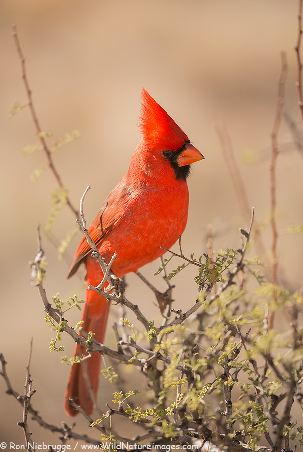Northern Cardinal, Mc Dowell Mountain Regional Park, Arizona.