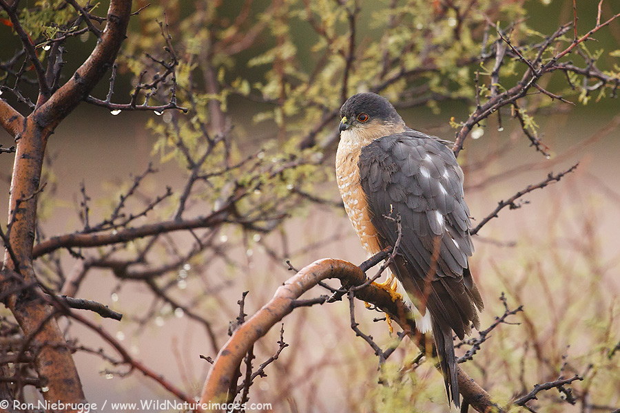 Sharp-shinned Hawk, McDowell Mountain Regional Park, near Phoenix, Arizona.