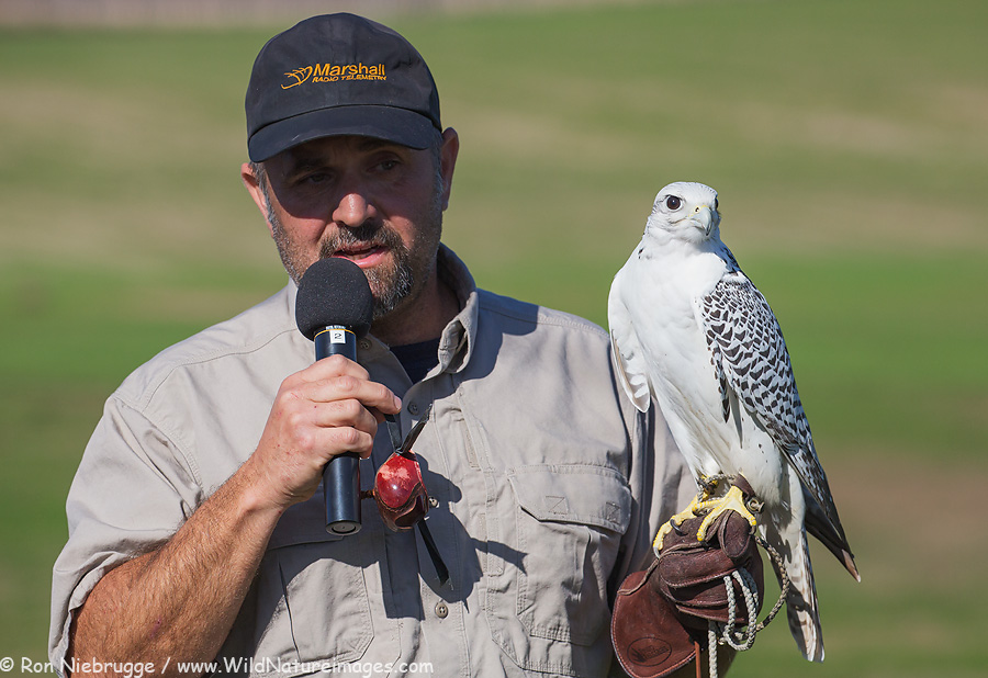 A handler with a gyrfalcon during the Hawk Watch