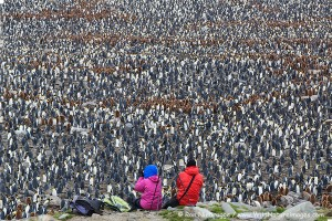 Huge king penguin colony at St. Andrews, South Georgia.