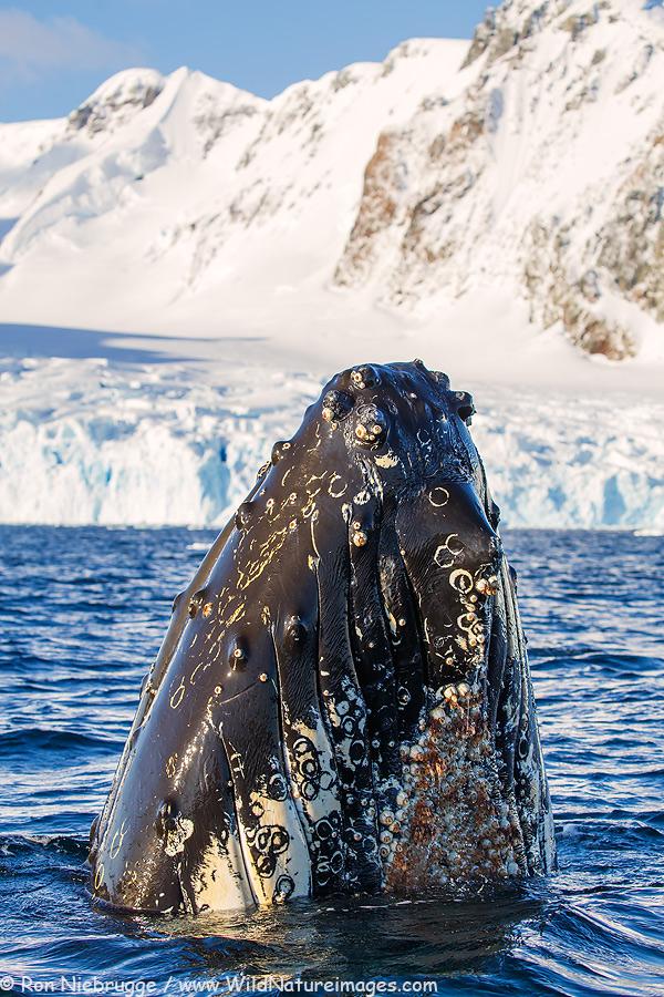 Humpback whale spyhopping, near Petermann Island, Antarctica.