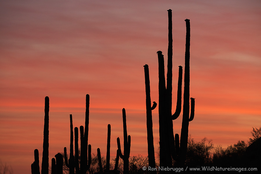 Saguaros at sunset, Arizona.