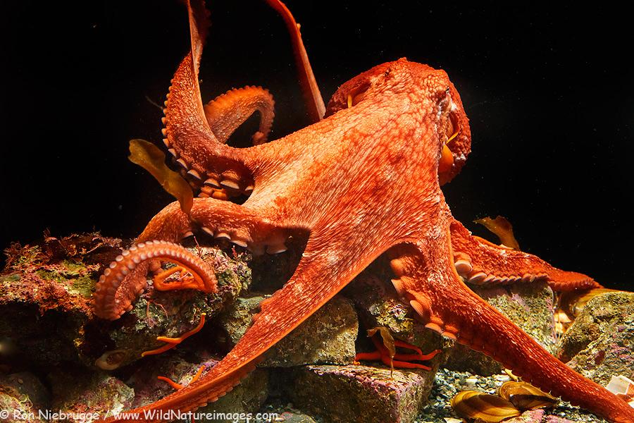 the giant pacific octopus Seattle aquarium live streaming giant pacific octopus cam.